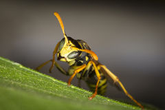 Wasp resting on a leaf Stock Photography