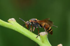 Wasp. A wasp is resting on stem Royalty Free Stock Image