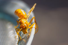 Wasp rider on a Steel grid stock photography