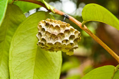 Wasp's nest on branches Stock Photography