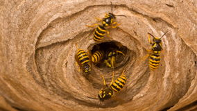 Wasp's nest Stock Image