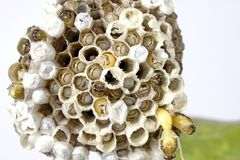 Wasp's nest Royalty Free Stock Photography