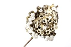Wasp's nest Royalty Free Stock Images