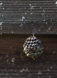 Wasp`s nest on the wooden wall Stock Photography