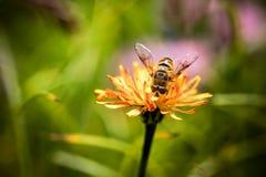 Wasp samlar nektar från blommacrepisalpina Royaltyfri Foto