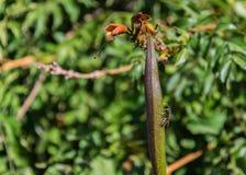 Wasp sammanträde på en ärta royaltyfri foto