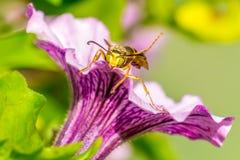 Wasp sammanträde på en petunia Arkivbilder