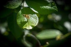 Wasp sammanträde på ett grönt blad i solljus Arkivfoton