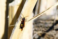 Wasp sammanträde på gräs Royaltyfri Foto