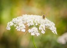 Wasp sammanträde på ` s för drottningen Anne snör åt den lösa blomman arkivfoto