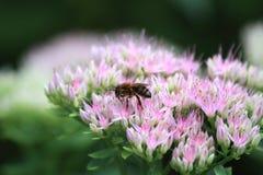 Wasp on sedum. Close up of the wasp on pink sedum Royalty Free Stock Photos