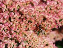 Wasp on Sedum Flower. Wasp feeding on flowers of sedum plant Royalty Free Stock Images