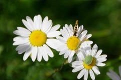 Wasp - shield bug - daisy stock image