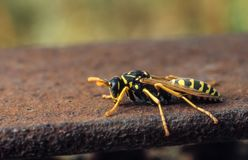 Wasp sit in fence of metal bridge royalty free stock photos