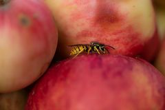 Wasp sits on an apple in autumn royalty free stock photography