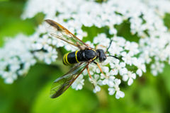 Wasp sits the flower. Stock Image