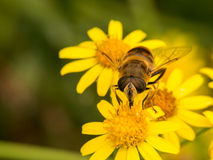 Wasp sits on three yellow flower Royalty Free Stock Images