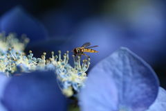 Wasp. Sitting on a blue flower Stock Photos