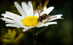 Wasp. Sitting on the chamomile Royalty Free Stock Photos