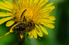 Wasp sitting on a dandelion Royalty Free Stock Photography