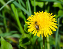 Wasp sitting on a dandelion flower Stock Images