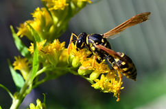 A wasp sitting on a goldenrod macro Royalty Free Stock Photography