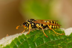 Wasp sitting on green leaf Stock Photos