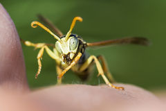 Wasp sitting on a human hand Stock Images