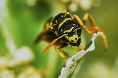 Wasp sitting on a leaf Stock Image