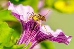 Wasp Sitting on a Petunia Stock Images