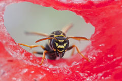 Wasp sitting on a piece of watermelon and eats Royalty Free Stock Images
