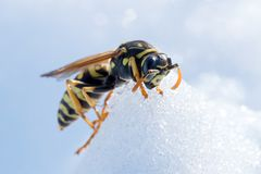 Wasp on snow. Macro photo of the fighter wasp stock images