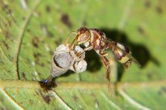 Wasp som bygger en bikupa på bladet arkivbilder