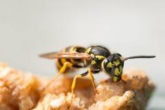 Wasp som matar på ett stycke av äpplet Royaltyfri Foto