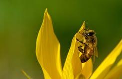 Wasp som pollinerar solrosen Royaltyfri Bild
