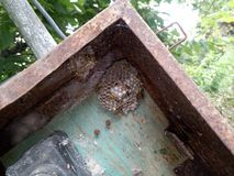 Wasp species polished on nest. Wasp nest. With wasps and larvae stock photos