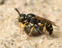 Wasp Sphex. With prey, paralyzed weevil Stock Photo