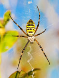 Wasp spider Royalty Free Stock Image
