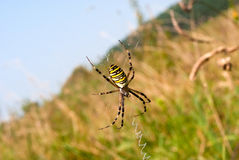 Wasp spider Stock Images
