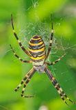 Wasp Spider Royalty Free Stock Photo