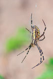 Wasp spider Stock Photos