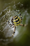 Wasp Spider. On web in close up stock image