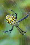 Wasp Spider. A wasp spider on it's web in Pennsylvania Royalty Free Stock Photo
