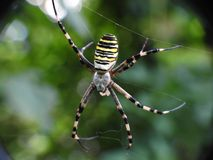 Wasp spider stock photo