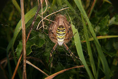 Wasp spider (Argiope bruennichi) Stock Photo