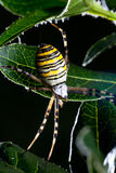 Wasp spider (Argiope bruennichi). In the foliage royalty free stock images