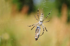 Wasp spider, Argiope bruennichi Stock Photo