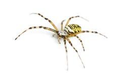 Wasp spider, Argiope bruennichi. Against white background Stock Photography