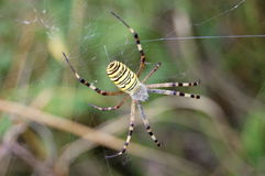 The wasp spider. (Argiope bruennichi Royalty Free Stock Photography