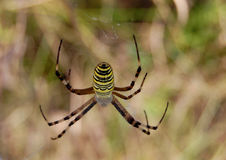 The wasp spider Stock Image